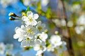 Botões de florescência — Foto Stock