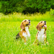 Two beagle — Stock Photo #50638323