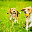 Two beagle — Stock Photo #50638351