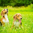Two beagle — Stock Photo #50638569