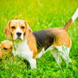 Two beagle — Stock Photo #50638579