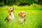 Two beagle — Stock Photo