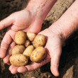 Hands holding fresh potatoes — Stock Photo