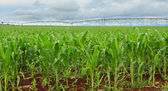 Sweet corn crop in Australia — Stock Photo