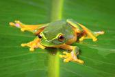 Beautiful green frog sitting on leaf — Stock Photo
