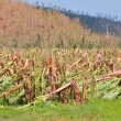 Постер, плакат: Banana plantation destroyed by tropical cyclone in Australia