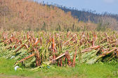 Banana plantation destroyed by tropical cyclone in Australia — Stock Photo