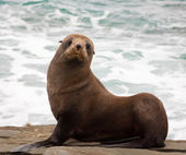 New Zealand fur seal — Stock Photo