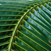 Green leaf coconut — Stock Photo