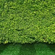 Green leaves wall and grass — Stock Photo