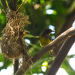 Bird (Olive-backed Sunbird) — Stock Photo