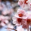Branch sakura — Stock Photo