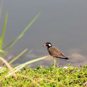 Red-wattled Lapwing — Foto Stock