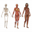 Skeleton - transparent skin - nude view of the female body — Stock Photo