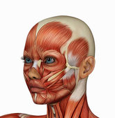 Female face's muscle structure — Stock Photo