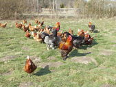 Farm chickens in the countryside — Stock Photo