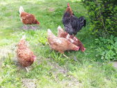 Free range chickens, hen , on a grass in a yard — Stock Photo