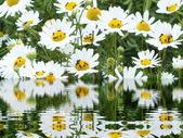 White flowers with many small insects on the field — Stock Photo