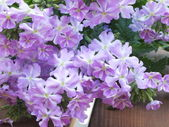 Pink phlox in the garden — Stock Photo
