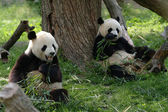 Giant pandas in a field — Stock Photo