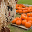 Stock Photo: Scarecrow overlooking pumpkin patch