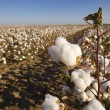 Cotton Field at Harvest — Stock Photo #13625049