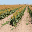 Fiel of grain sorghum or milo crop in West Texas - Stok fotoğraf