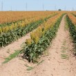 Fiel of grain sorghum or milo crop in West Texas - Foto Stock
