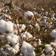 Cotton Field at Harvest — Stock Photo