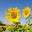 Sunflower Crop in Field - Stock Photo