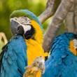Blue and Yellow macaws - Was it something I said? — Stock Photo #13930119