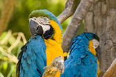 Blue and Yellow macaws - Was it something I said? — Stock Photo