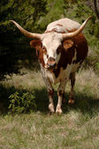 Longhorn — Stock Photo