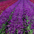 Rows of red and purple snap dragons in  a field — 图库照片