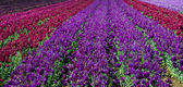 Rows of red and purple snap dragons in a field — Stock Photo