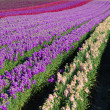 Постер, плакат: Rows of snapdragons blooming in a field