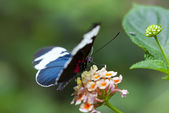 Heliconius sapho — Stock Photo