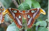 Giant Atlas Moth — Stock Photo