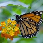 Постер, плакат: Monarch Butterfly