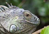 Iguana iguana — Stock Photo
