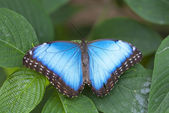 Morpho butterfly — Stock Photo