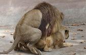 Lioness — Foto de Stock