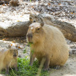 Capybara — Stock Photo #12401539