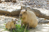 Capybara — Stock Photo