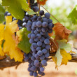 Stock Photo: Black grapes