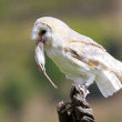 Barn Owl — Stock Photo #12602167