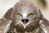 Toed Eagle — Stock Photo
