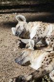 Hyenas — Stock Photo