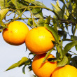 Valencia orange trees — Stock Photo #17851887