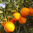 Valencia orange trees — Stock Photo #17851913